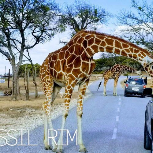 Travel : Fossil Rim Wildlife Center – Glen Rose, Texas